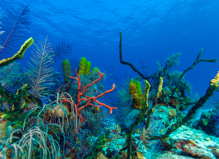 hard coral: Underwater background with soft and hard corals, Cayo Largo, Cuba