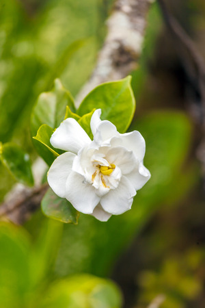 National flower of Cuba - La Mariposa (butterfly jasmine)