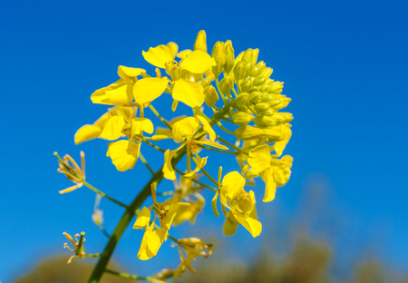 Yellow flower of white mustard (Sinapis alba) with blue sky background