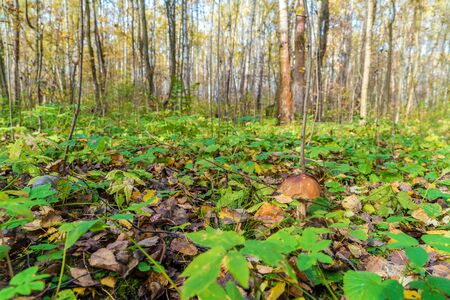 Forest summer landscape with boletus in the foreground Stock Photo
