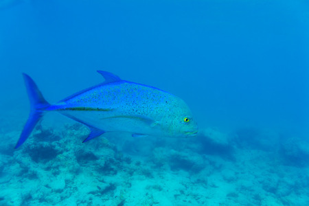 pristine corals: Blue fin trevally (Caranx melampygus) in ocean blue water, Maldives