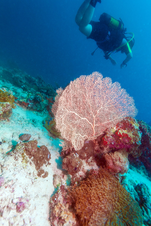 seafan: A group of divers near a coral wall with a red fan, Maldives