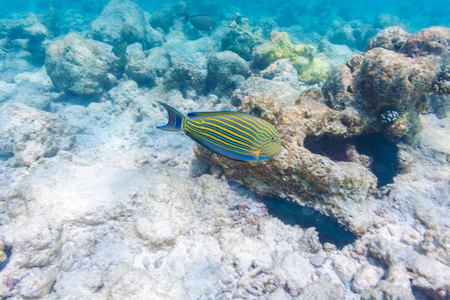 surgeonfish: Blue surgeon fish in shallow water near the corals on the seabed, Maldives