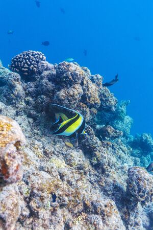 Moorish idol fish in shallow water near the corals on the seabed, Maldives Stock Photo