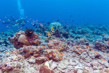 Maskierte Bannerfische (Heniochus monocera) und Taucher, Malediven