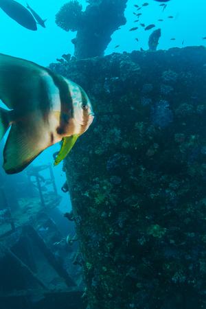 sunken: Closeup of Big Bat Fish near sunken ship, Maldives
