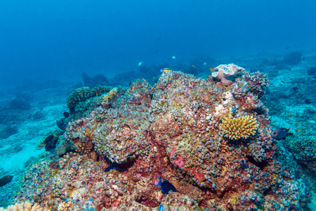 underwater ocean: Underwater background with Hard and soft corals on the Indian ocean bottom, Maldives