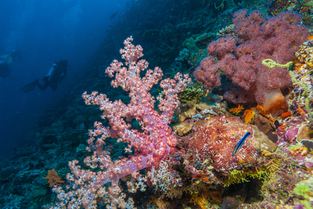 hard coral: Gorgonian red soft corals underwater background, Maldives