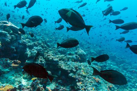 acanthurus: Thompson surgeonfishes (Acanthurus thompsoni) in ocean blue background, Maldives