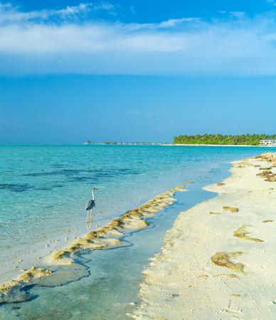 gray herons: Wild grey Heron walking along the line of a sandy tropical beach, Maldives