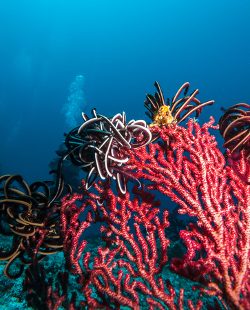 gorgonian sea fan: Underwater landscape with red fan coral and fish, Maldives