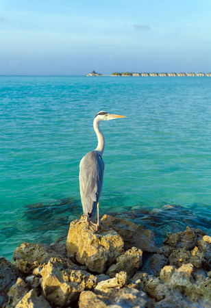 gray herons: Gray Heron on stones with background of a chain of  bungalows in the Indian ocean, Maldives