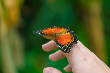 biblis: The Red Lacewing butterfly (Cethosia biblis) sitting on hand