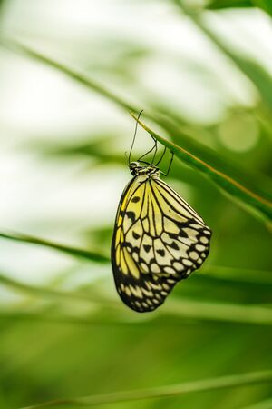 The paper kite or  large tree nymph butterfly (Idea leuconoe) from Philippines