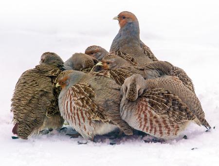Grupa dzikie popielate kuropatwy szuka jedzenie w zimy polu