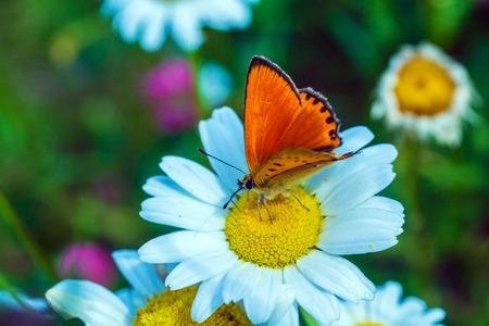 Scarce copper (Lycaena virgaureae) butterfly on wild chamomile flower