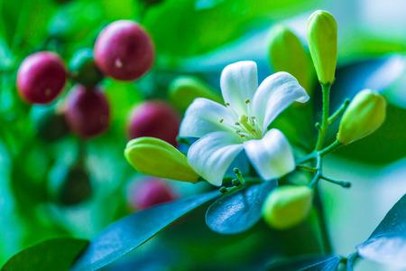 jessamine: Orange jessamine (Murraya paniculata) white flowers and red fruits
