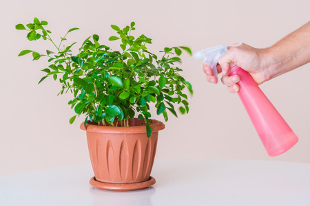 hydration: Hydration foliage home plants with a red sprayer Stock Photo
