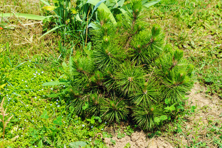 Young tree of mountain pine with green needles in the garden Stock Photo
