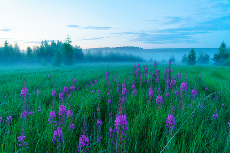Misty romantic landscape with blossoming fireweed (Chamaenerion angustifolium), birches and green grass in summer, Moscow region, Russia