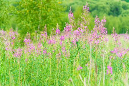 Summer June beautiful landscape with flowering fireweed and meadow with birches, Moscow region, Russia