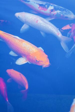 Koi Pond with Japan Colorful Carps