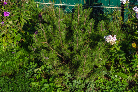 Seedling of a young mountain pine (monte pinus) in a summer garden, natural landscape design and gardening