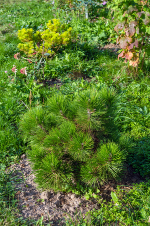 Seedling of a young Black pine in a summer garden, natural landscape design and gardening Stock Photo