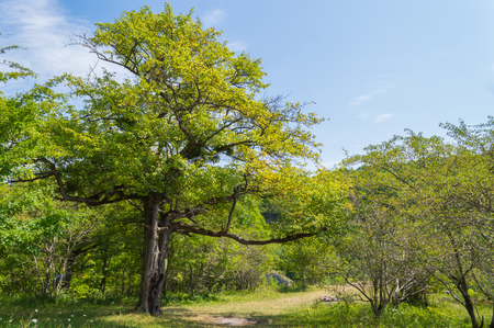 chaparral: Green tree stands near to the hiking trails in the woods summer, a branch hanging over the footpath in Adygeya republic, South of Russia