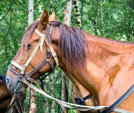reins: Brown horse in harness with the reins