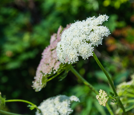 invade: Cow parsnip on foreground and valley in mountains in the background