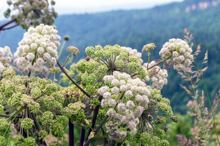 Cow parsnip on foreground and valley in mountains in the background