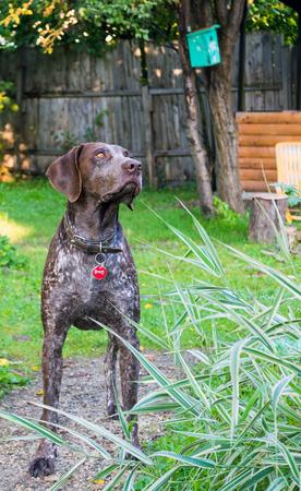deutsch: German shorthaired pointer, Deutsch Kurzhaar - Hunter dog