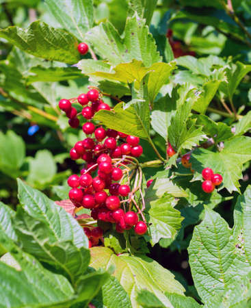lantana: Bunches of red viburnum berries on a branch, ripening in late summers