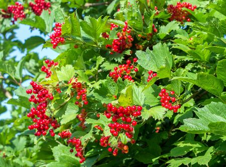 Bunches of red viburnum berries on a branch, ripening in late summers