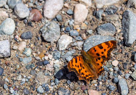 nymphalis: Scarce tortoiseshell butterfly Nymphalis xanthomelas japonic