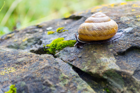 freshwater snails: Snail crawling on the wet stone covered with moss