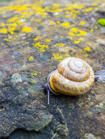 edible snail: Snail crawling on the wet stone covered with moss