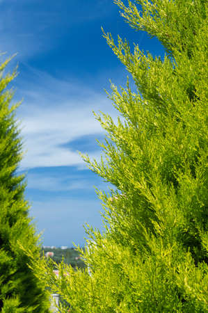 Green Thuja on blue sky with white clouds background.