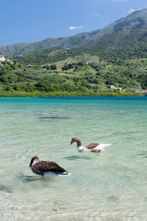 kournas: Geese in clear water at lake Kournas at island Crete, Greece