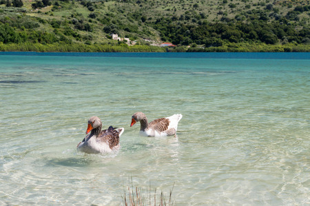 fidelidad: Geese in clear water at lake Kournas at island Crete, Greece