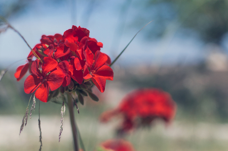 cranesbill: Red garden geranium flowers , close up shot geranium flowers