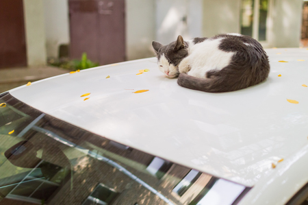 Cat is sleeping on the roof of a car