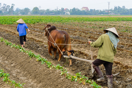 Farmer using bull plowing rice field. Asian man using the buffalo to plow for rice plant, Countryside or rural Vietnam