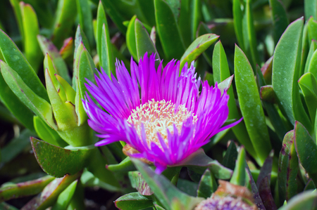 Stokesia laevis, monotypic genus of flowering plants in the daisy family, Asteraceae