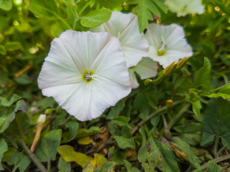 Close-up flowers of white petunias in garden