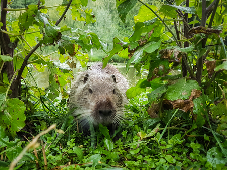 Close up photo of a nutria, also called coypu or river rat, against green background. Stock Photo