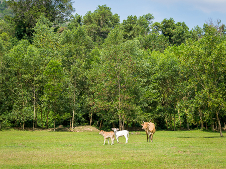 Calfs with mother on green feild at sunny day Stock Photo