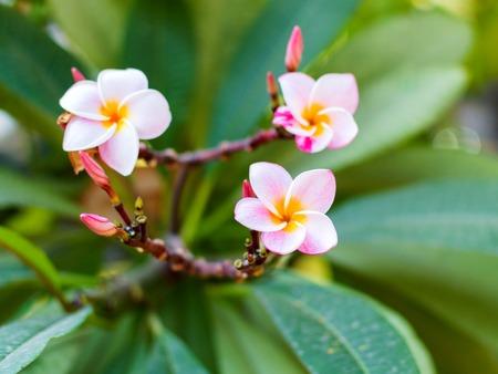 White and yellow Plumeria spp, frangipani flowers, Frangipani, Pagoda tree or Temple tree Stock Photo