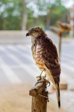 The hawk or falcon is a bird of prey in captivity